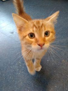 orange kitten looking at camera