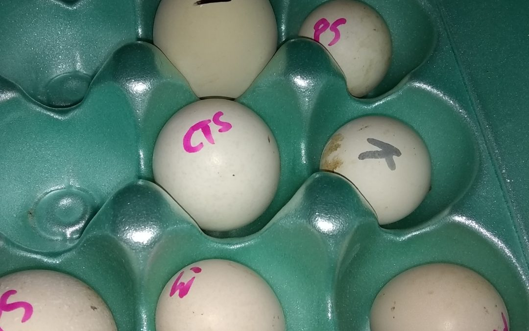 Hatching Itty Bitty Chickens